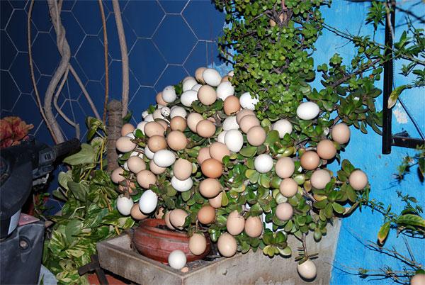 Planta-Huevo